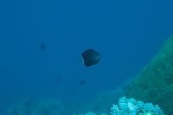 BD-121127-Aqaba-7155-Chromis-pembae.-Smith.-1960-[Pemba-chromis].jpg